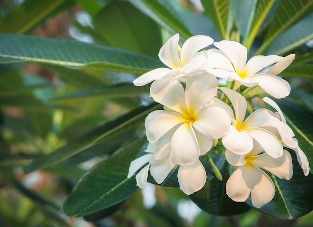 美しい白いプルメリアの花が咲き、いい香りのホメオパシーの概念。