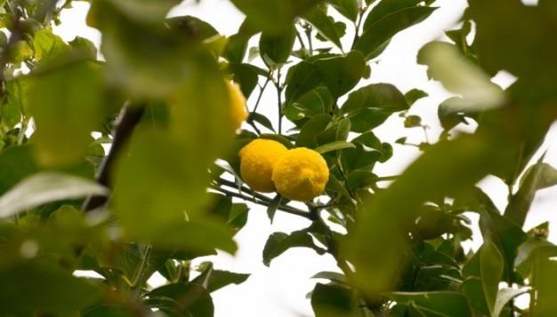 二つのレモン