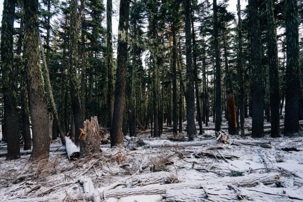 松の白い森
