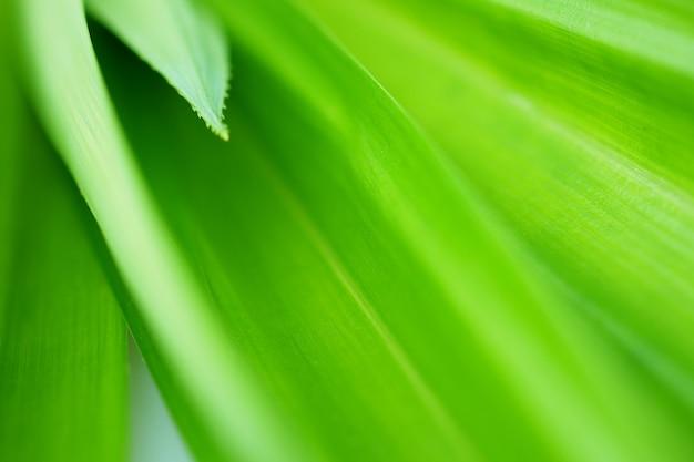 新鮮な緑の葉の熱帯のパンダンの葉のテクスチャ背景。