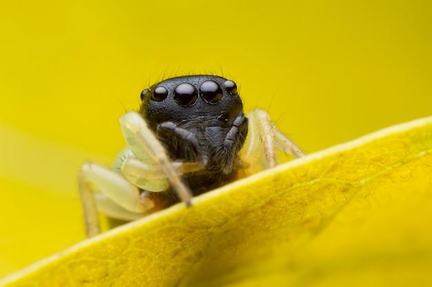 黄色の葉の上にジャンプのクモ