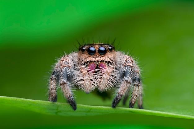 自然の中の緑の葉の上にジャンプのクモ
