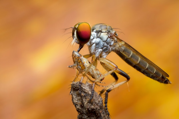 強盗ハエと自然の中で獲物