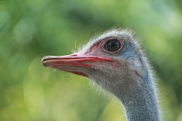 Закройте страуса в природе