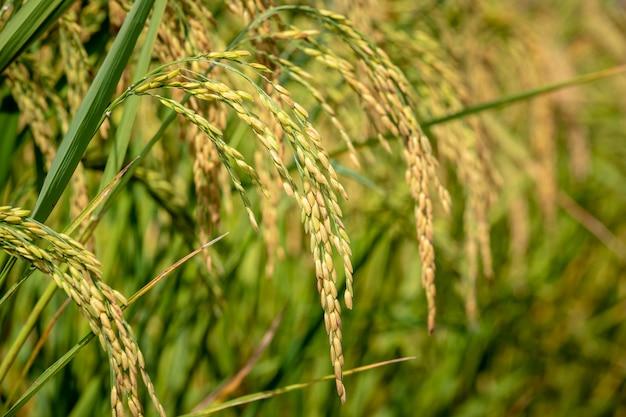 農場で生の黄金米はスポットフォーカスエリアにクローズアップ