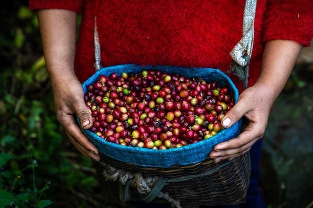 農家のかごの中の農業農地からの生コーヒー生豆