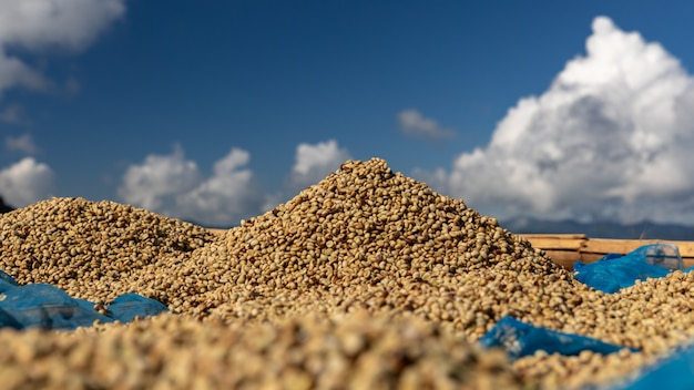 Сушка сырого кофейного зерна на полу местной семейной индустрии в таиланде