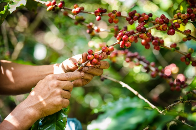 生のコーヒー豆と山のチェンライタイの農業地域での緑の葉