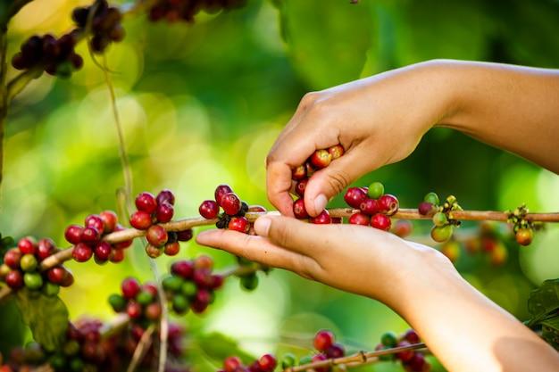 農民はタイのチェンライで農地でコーヒー豆を集めています