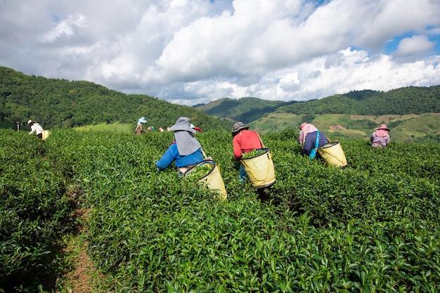 地元の農家が山の農地で茶葉を集めています