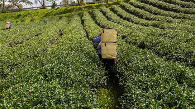 農地の緑茶のバスケットを運ぶ農夫
