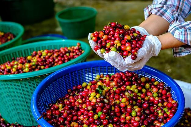 Красная вишня кофе в зернах в руках.