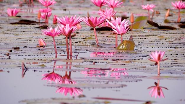 沼の赤い蓮