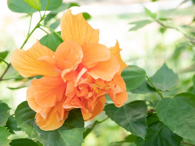 オレンジ色の靴の花またはチャイニーズローズ