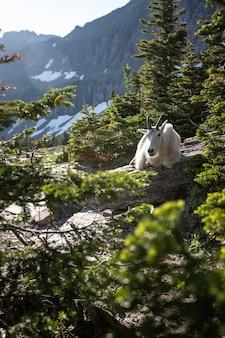 氷河国立公園の山羊