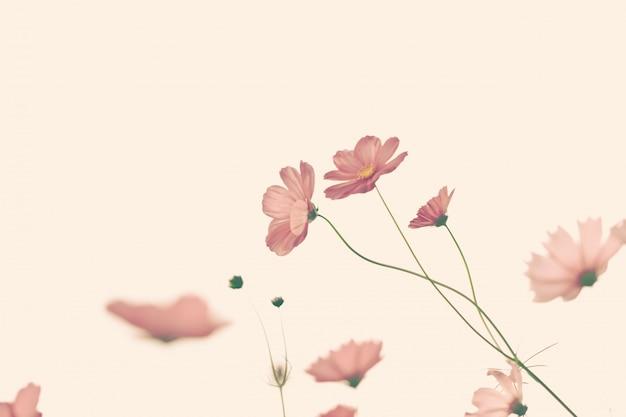 フィルター付きの美しいコスモスの花。
