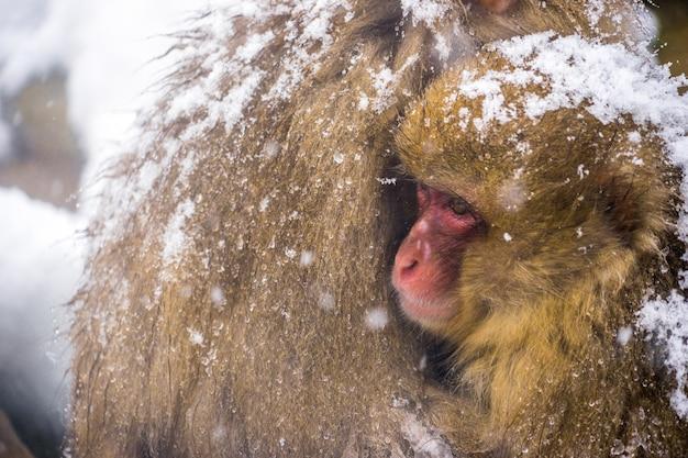 雪猿(ニホンザル)震えのクローズアップと赤ちゃん猿と愛の家族との抱擁