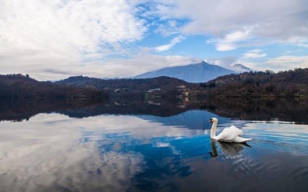湖で泳いで白鳥
