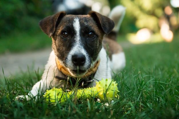 若い白い犬、ジャック・ルーゼルは屋外で遊びたい