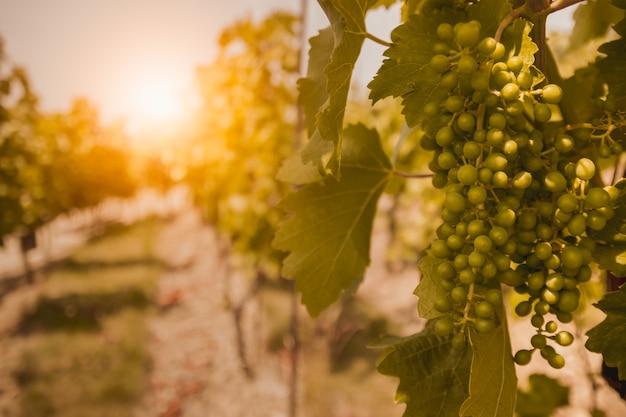日没時のブドウ園。夏に熟していないブドウ