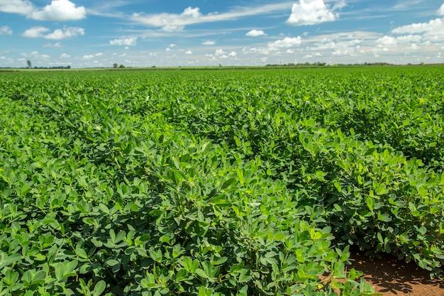 Природа арахиса полевой плантации