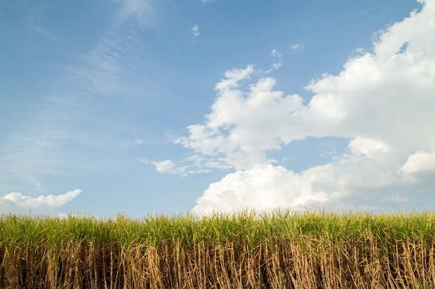 サトウキビ農園