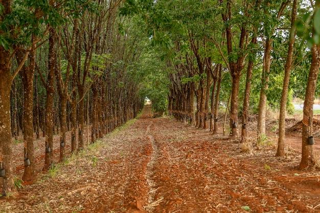 ゴムの木の養殖