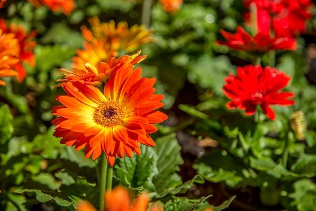 ガーベラの花の植物の色