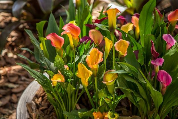 カラの花の植物の葉の栽培