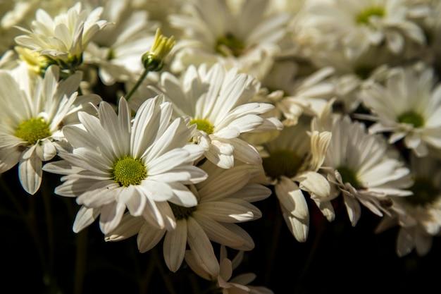 デイジーの花の植物の色の栽培