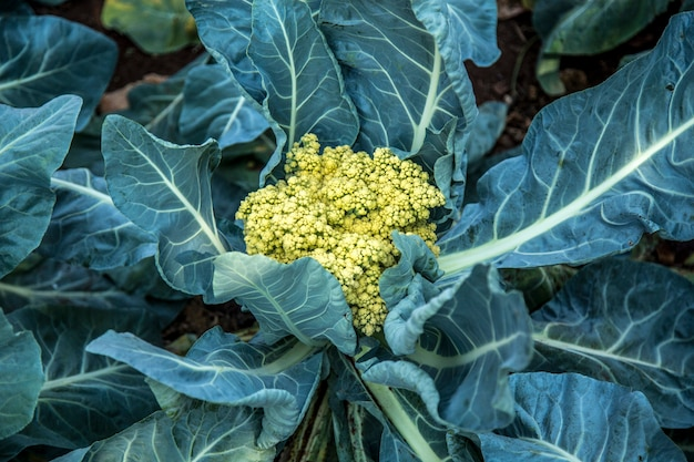 カリフラワー植物栽培作物