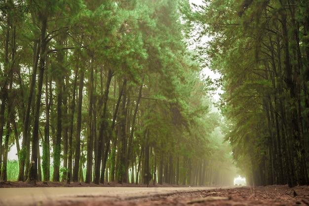 松の木の霧の道の美しい景色