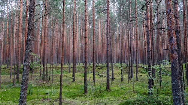 松林の美しい景色。夏の自然の風景。ロシア