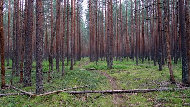 Живописный вид на сосновый лес. летний пейзаж природы. россия