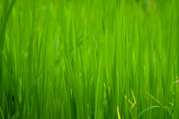 田んぼまたは草の緑をクローズアップ、自然な緑のテクスチャ