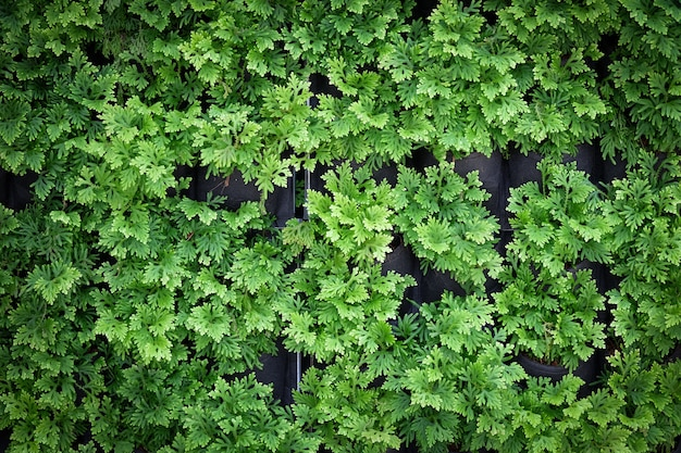 緑の葉の壁のテクスチャ。縦型ガーデニング