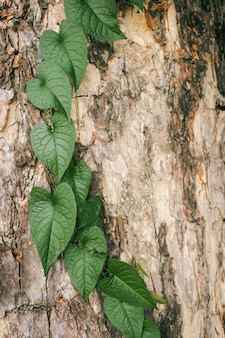 樹皮や背景にアイビーの木。