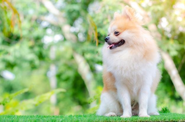 かわいいポメラニアン犬は緑の芝生でリラックス、