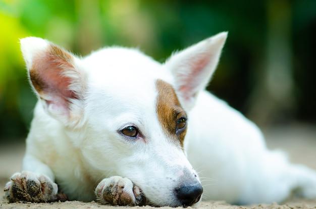 小さな犬の白い色が春の日差しの日に地上で眠っている。