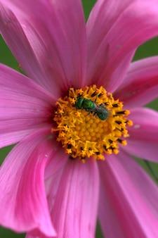 ピンクのコスモスの花びらに花粉を集める小さな緑の昆虫