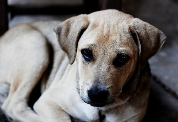 タイの通りの犬の肖像画と犬の顔の選択点のフォーカス