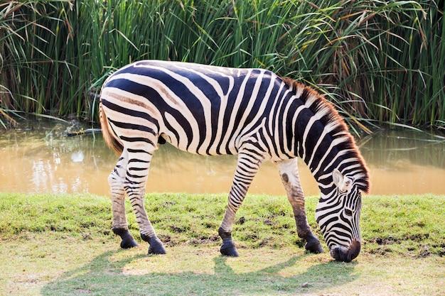 Зебра ест траву в парке зафари