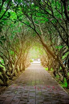 トンネルプルメリアの木