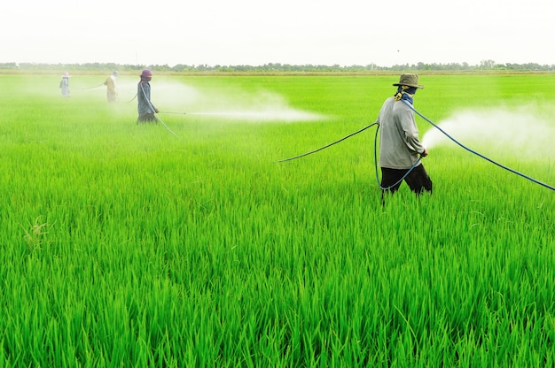 Фермер спрей пестицидов на рисовом поле