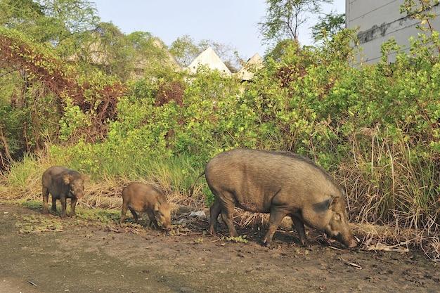 放棄された村の野生の豚