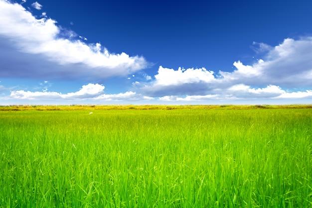 Рисовая поляна