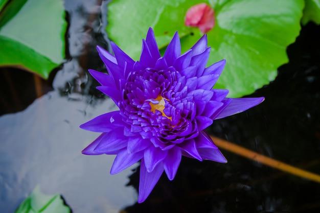 川の紫の蓮の花。