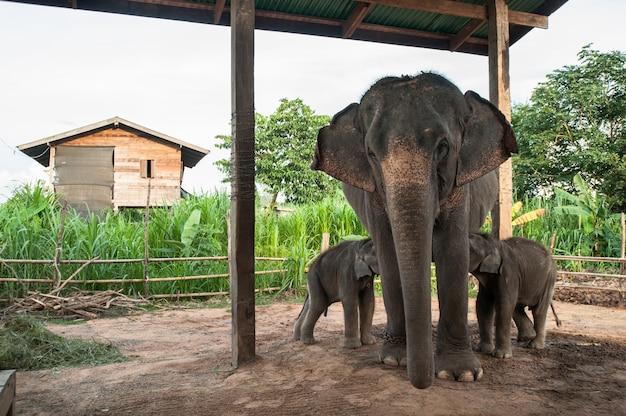 タイ、スリン、エレファントビレッジの母象と子牛