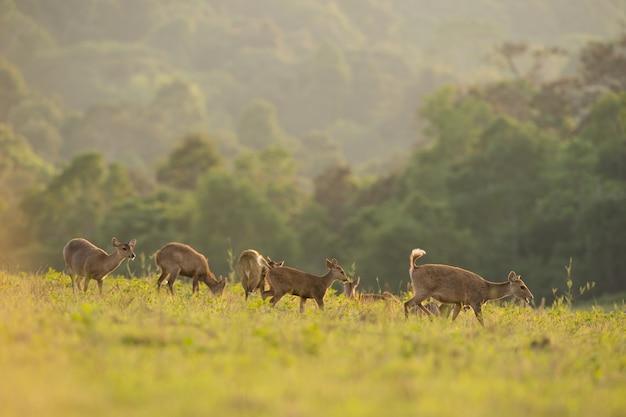 Группа оленей на лугово поле, таиланд