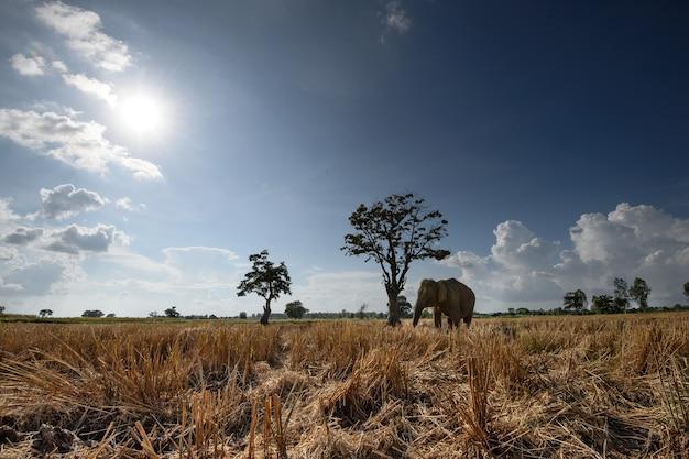 タイでアジアの象と収穫された水田